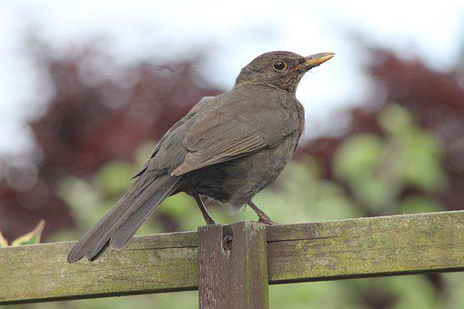 Blackbird, Female, Uk, Garden, Songbird, Wildbird