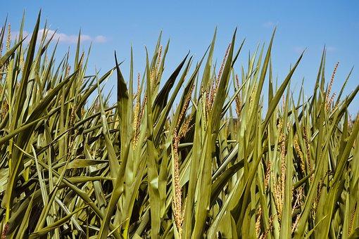Corn, Plant, Agriculture, Nature, Field, Landscape