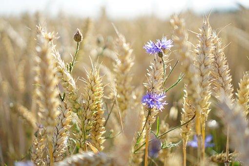 Cornflowers, Wheat, Field