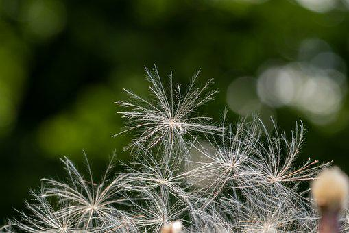 Thistle, Flying Seeds, Delicate, Fine, Wind, Shimmer