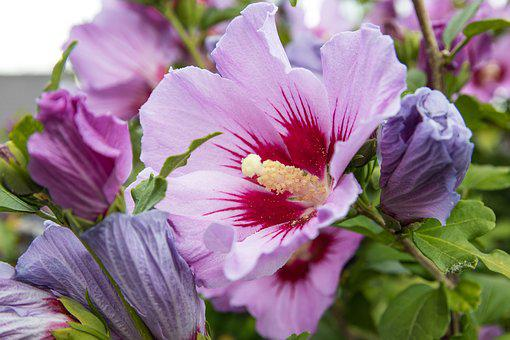 Hibiscus, Flower, Plant, Pink, Blossom, Bloom, Summer