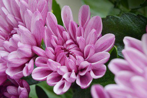Flower, The Chrysanthemum, Pink, Flora, Flowering