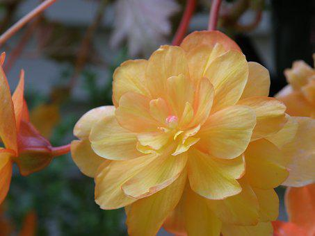 Begonia, Yellow, Pink, Peach, Flower, Bloom, Nature
