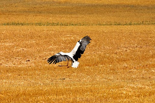 Stork, Fly, Field, Nature, Birds, Meadow, White Stork