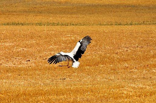 Stork, Fly, Field, Nature, Birds, Meadow, White Stork