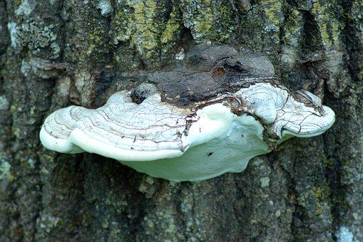 Shelf Fungus On Tree, Fungus, Fungi