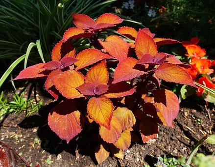 Coleus, Colourful Leaf Plant, Garden, Summer, Bright