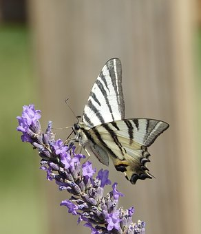 Butterfly, Lavender, Summer, Flower, Nature, Garden