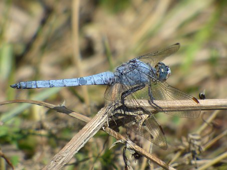 Dragonfly, Grass, Insects, Nature, Summer, Plant, Wing