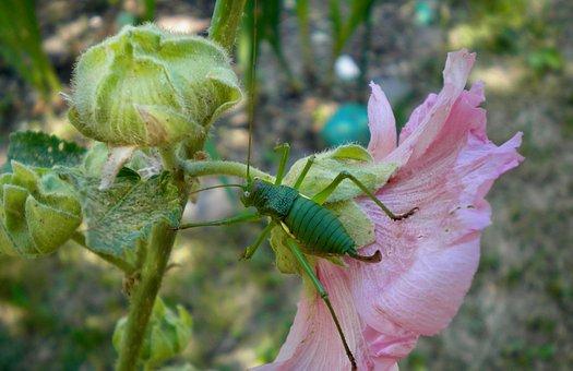 Hollyhock, Bud, Flower, Garden, Grasshopper, Petals