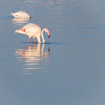 Greater Flamingos, Greater Flamingoes, Birds, Pink