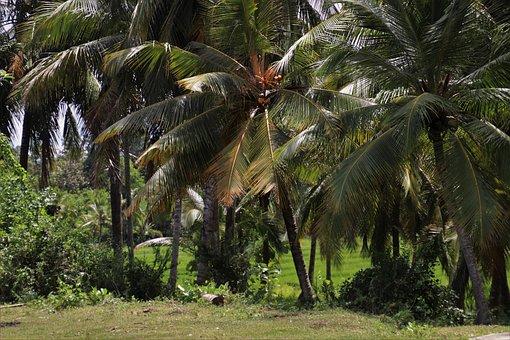 Palm Trees, Tree, Exotic, Island, Holidays, Tropical
