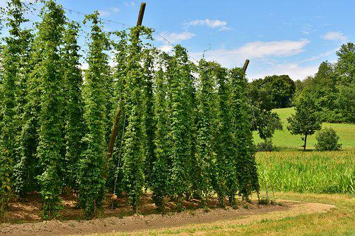 Hops, Umbel, Climber, Hops Fruits, Beer Brewing, Beer