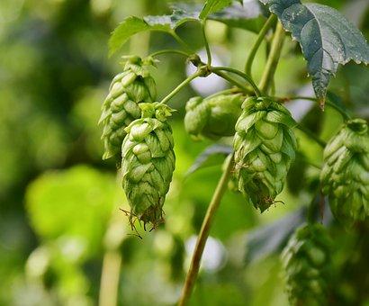 Hops, Umbel, Growth, Climber Plant, Hops Fruits
