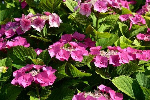 Hydrangea, Bush, Flowers, Nature, Plant, Bloom, Garden