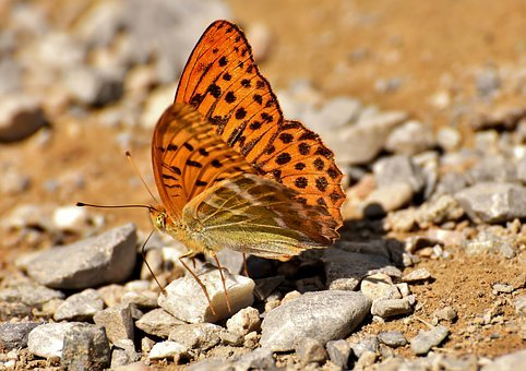 Butterfly, Insect, Animal, Nature, Wing, Animal World