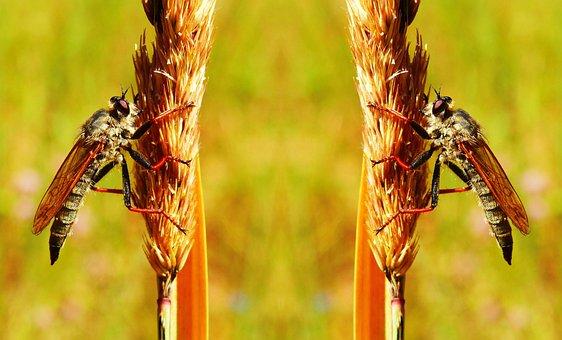 łowczak Bluish, Female, Muchówki, Insects, Animals