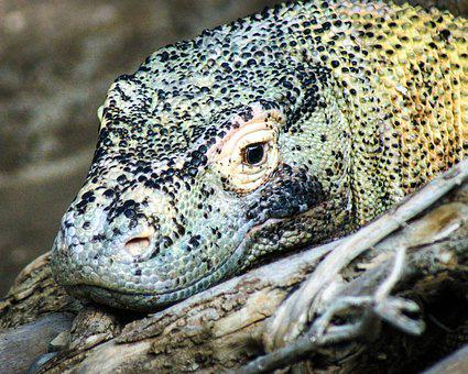 Komodo Dragon, Lizard, Monitor, Dragon, Reptile, Zoo