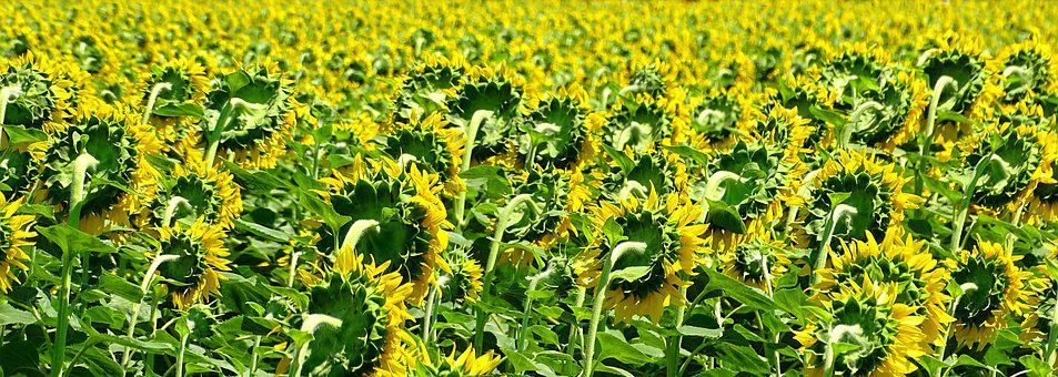 Sunflowers, Turned Away, Field, South, Landscape