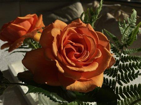 Flower, Rose Bloom, Light And Shadow, Romantic, Light