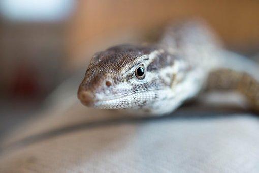 Lizard, Monitor, Ackie, Reptile, Exotic, Pet, Animal