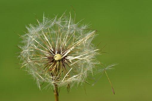 Dandelion, Close Up, Nature, Plant, Macro, Seeds
