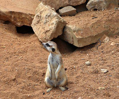 Meerkat, Mammal, Wildlife, Animal, Rock, Zoo, Outdoors