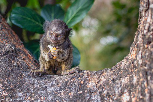 Nature, Goiás, Brazil, Green, Monkey, Marmoset, Tree