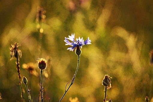 Cornflower, Summer, Plantain, Field, Pasture, Meadow
