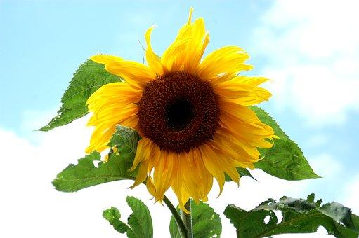 Sunflower, Flower, Yellow, Summer, Nature, Flowers