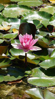 Lotus, Water Lily, Flower, Nature, Water Lilies