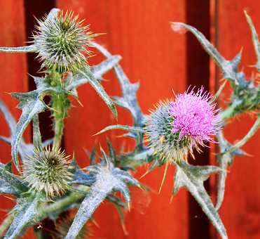 Thistle, Prickly, Wild Flower, Plant, Garden, Nature