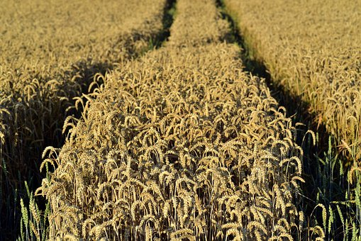 Wheat, Wheat Field, Nature, Agriculture, Field, Summer
