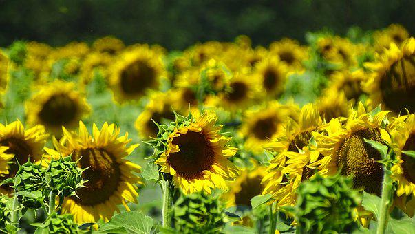 Field, Sunflowers, Nature, In The Summer Of, Yellow
