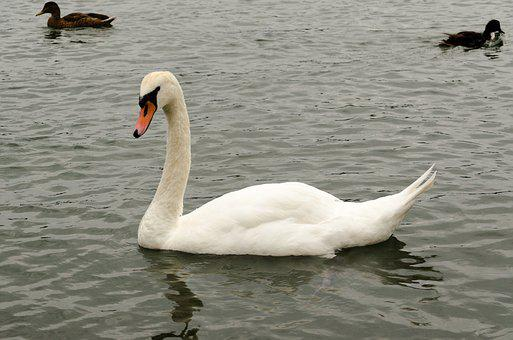 Maschpark, Nature, Waters, Lake, Swan, Duck Bird