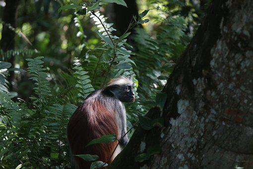 Monkey, Zanzibar, Trees, Nature, The National Park