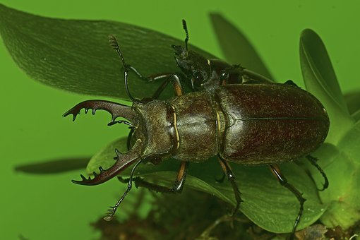 The Deer Bug, The Stag Beetle, Insects, Oak, Insect