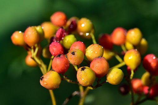 Berry, Rowan, Orange, Small, Wet, Moist, Drip, Nature
