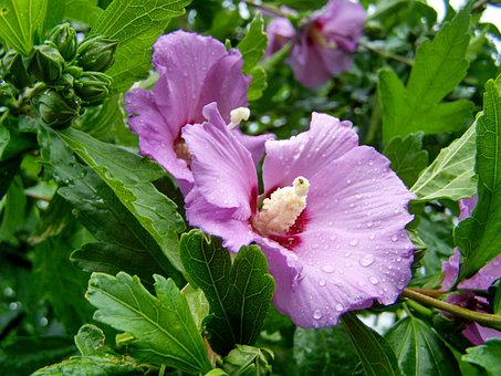 Bush Mallow, Hibiscus, Pale Purple-flowered, Flower