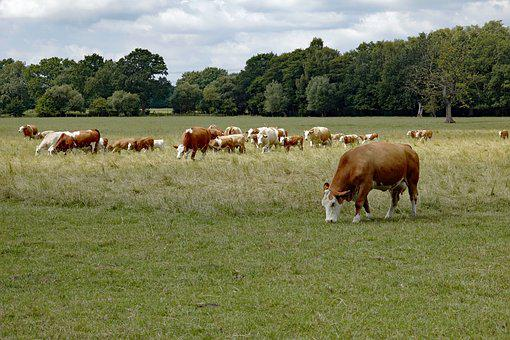 Cow, Cows, Cow Herd, Pasture, Agriculture, Livestock