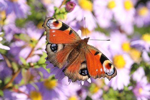 Butterfly, European Peacock, Peacock Butterfly