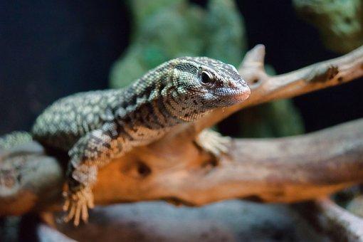 Lizard, Monitor, Ackie, Pet, Animal, Reptile, Terrarium