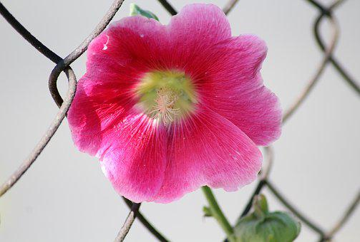 Mallow, The Hollyhock Flower, Pink, Summer, Plants