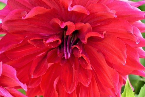 Dahlia, Flower, Blossom, Bloom, Pink, Red, Summer