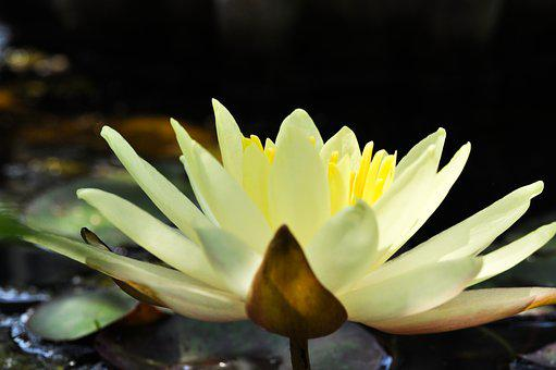 Flower, Nature, White, Yellow, Plant, Spring, Lily