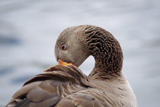 Greylag Goose, Plumage, Poultry, Water Bird, Nature