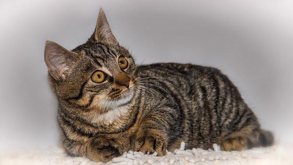 Cat, Pet, Animal, Domestic Cat, Portrait, Cat's Eyes