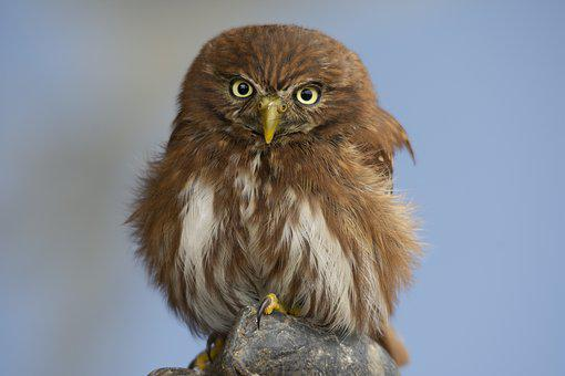 Pygmy, Bird Of Prey, Bird, Wild Animal, Raptor, Plumage