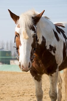 Horse, Stand, Bridle, Pony, Ride, Sand, Pinto, Portrait