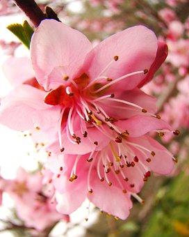 Peach Blossom, Spring, B, Blossom, Pink, Branch, Bloom
